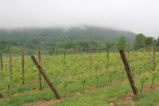 Linden vinyards, dans le Blue Ridge, sous la brume...