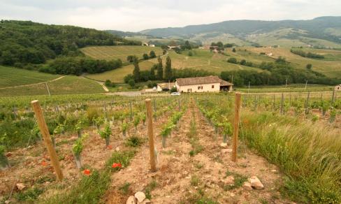 Les vignes d'Anne-Sophie Dubois à Fleurie.